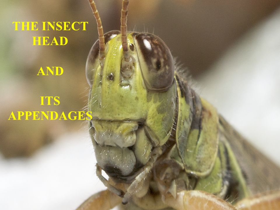 THE INSECT HEAD AND ITS APPENDAGES - ppt video online download