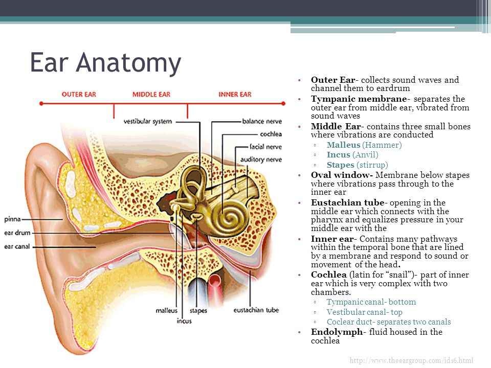 Outer ear anatomy