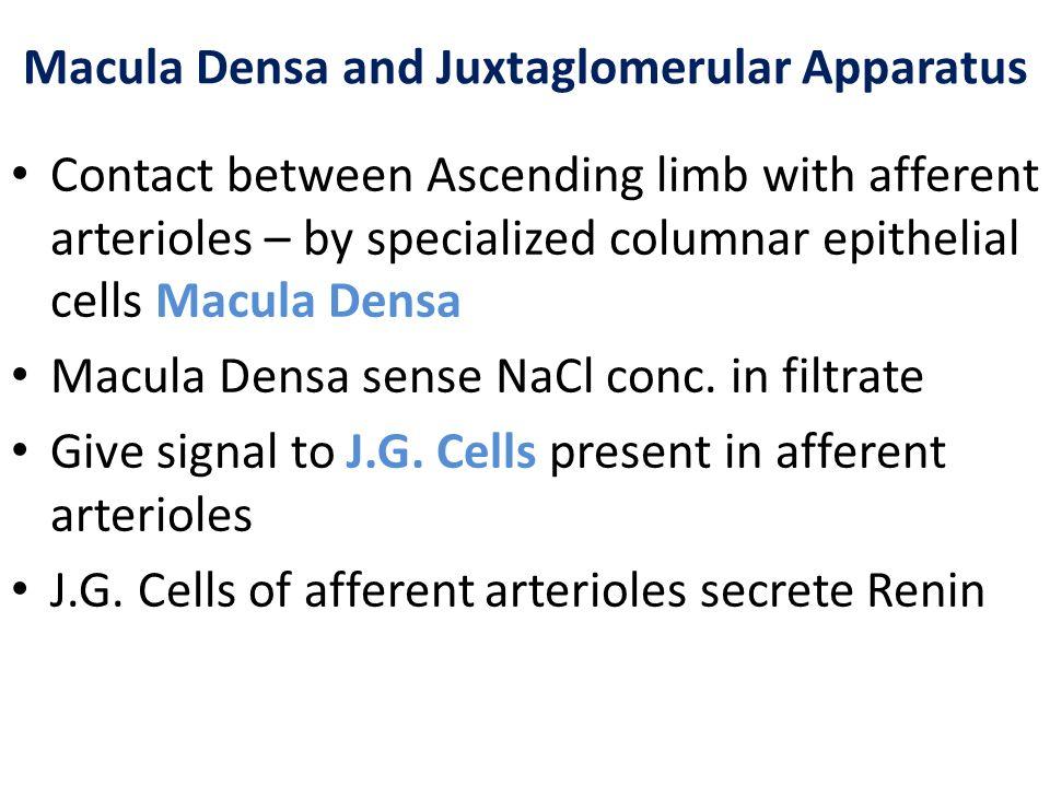 Macula Densa and Juxtaglomerular Apparatus