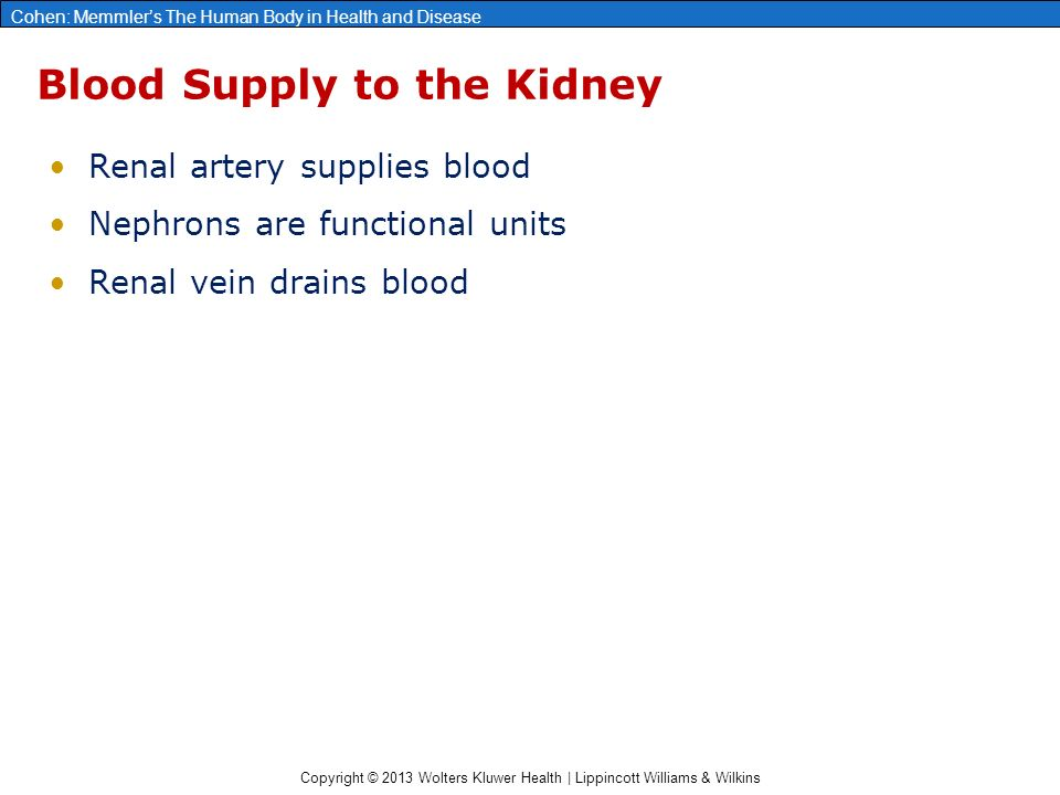 blood supply of kidney pdf