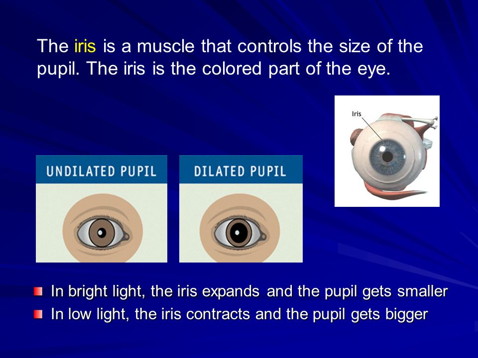 The iris is a muscle that controls the size of the pupil