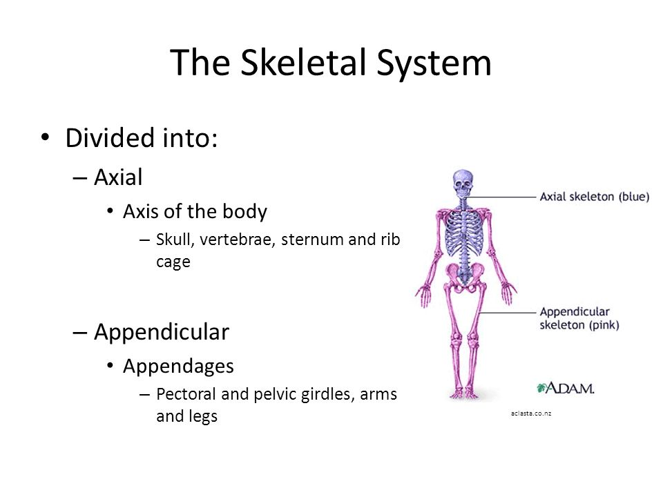 the axial and appendicular system The human skeleton can be divided up into to two parts, the axial skeleton  which is the central core of the body and the appendicular skeleton which forms  the.