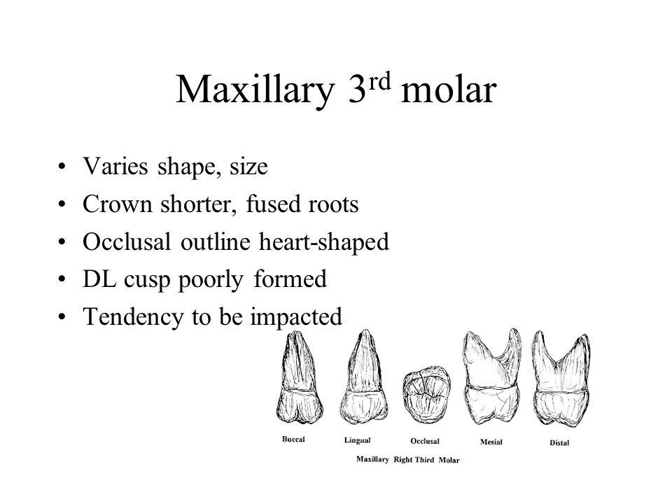 Groartig Molar Okklusale Anatomie Zeitgenssisch Menschliche