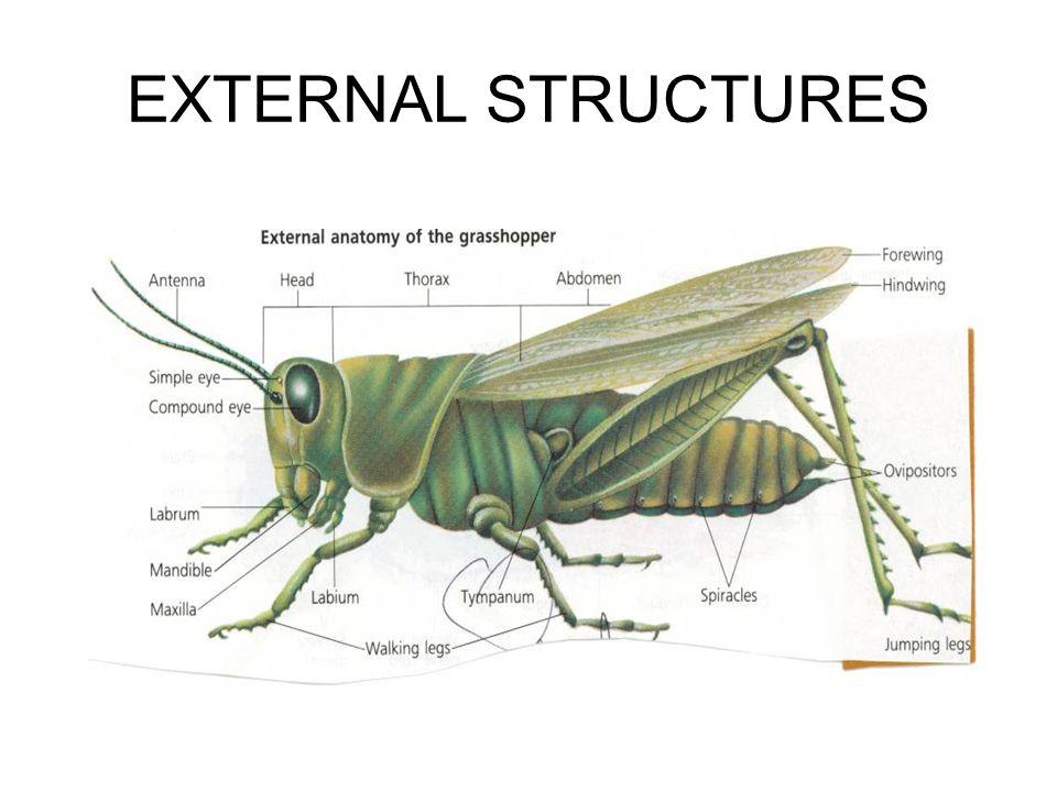 Luxury Grasshopper Head Anatomy Pattern Human Anatomy Images