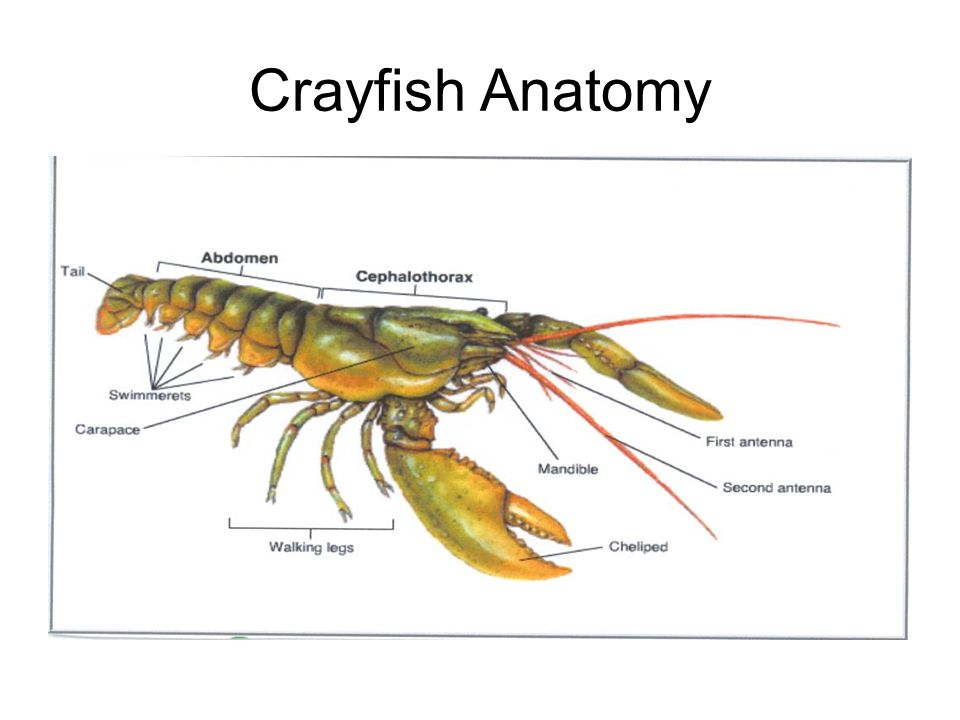Modern Crayfish Anatomy Diagram Pictures Human Anatomy Images