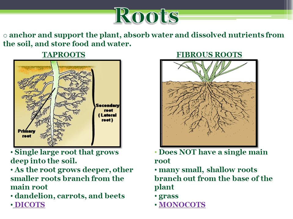 Roots anchor and support the plant, absorb water and dissolved nutrients from the soil, and store food and water.