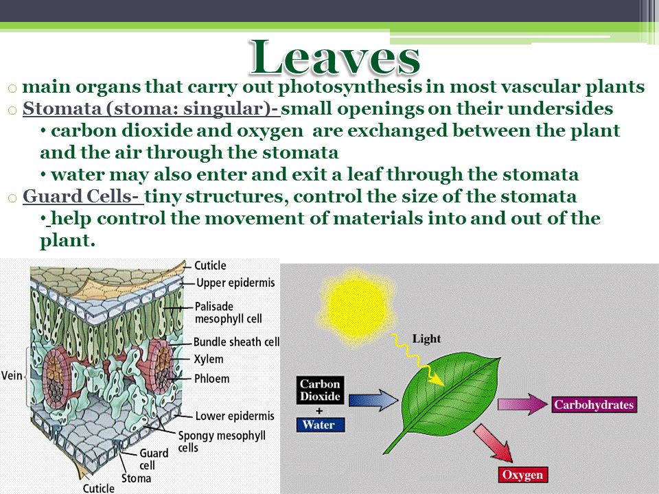 Leaves main organs that carry out photosynthesis in most vascular plants. Stomata (stoma: singular)- small openings on their undersides.