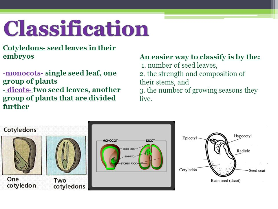 Classification Cotyledons- seed leaves in their embryos