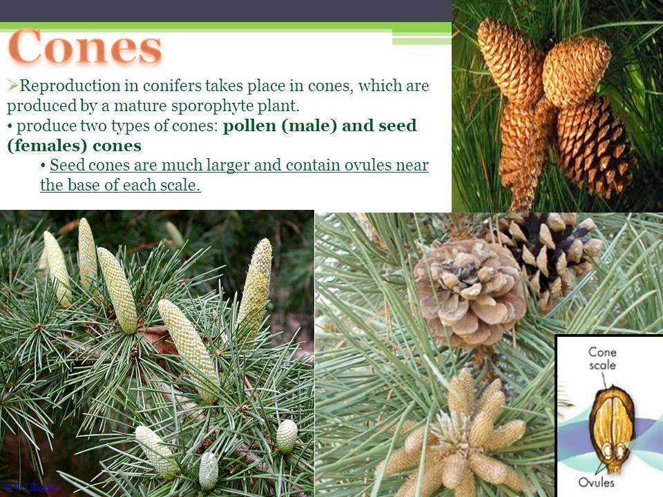 Cones Reproduction in conifers takes place in cones, which are produced by a mature sporophyte plant.