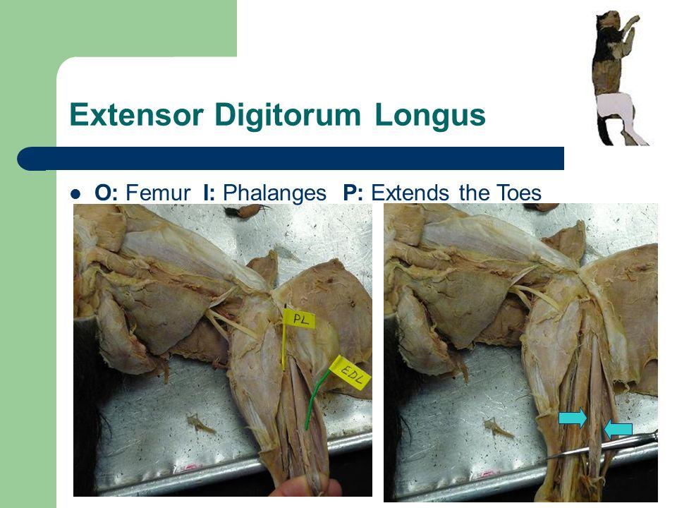Extensor Digitorum Longus Cat