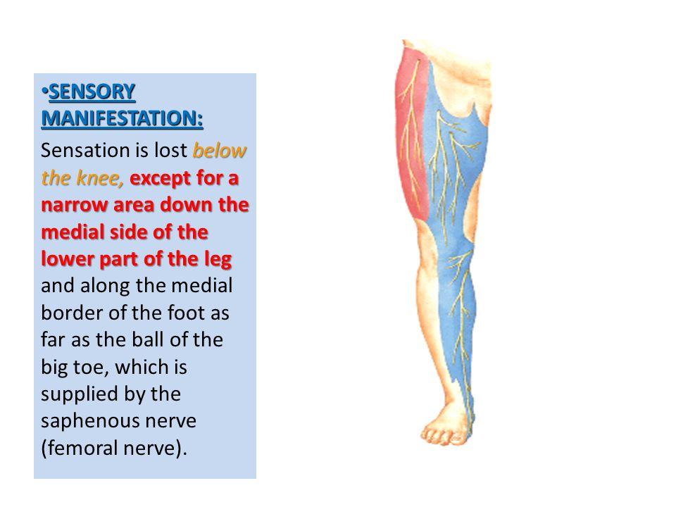 sacral plexus femoral & sciatic nerves - ppt video online download, Muscles