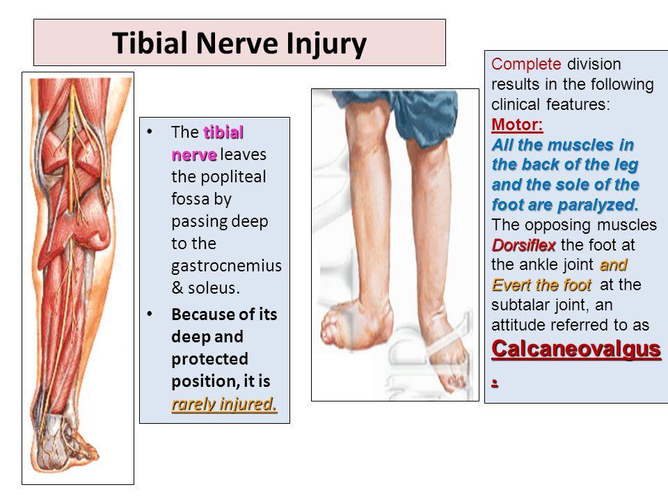 Foot Nerve Anatomy Image collections - human body anatomy