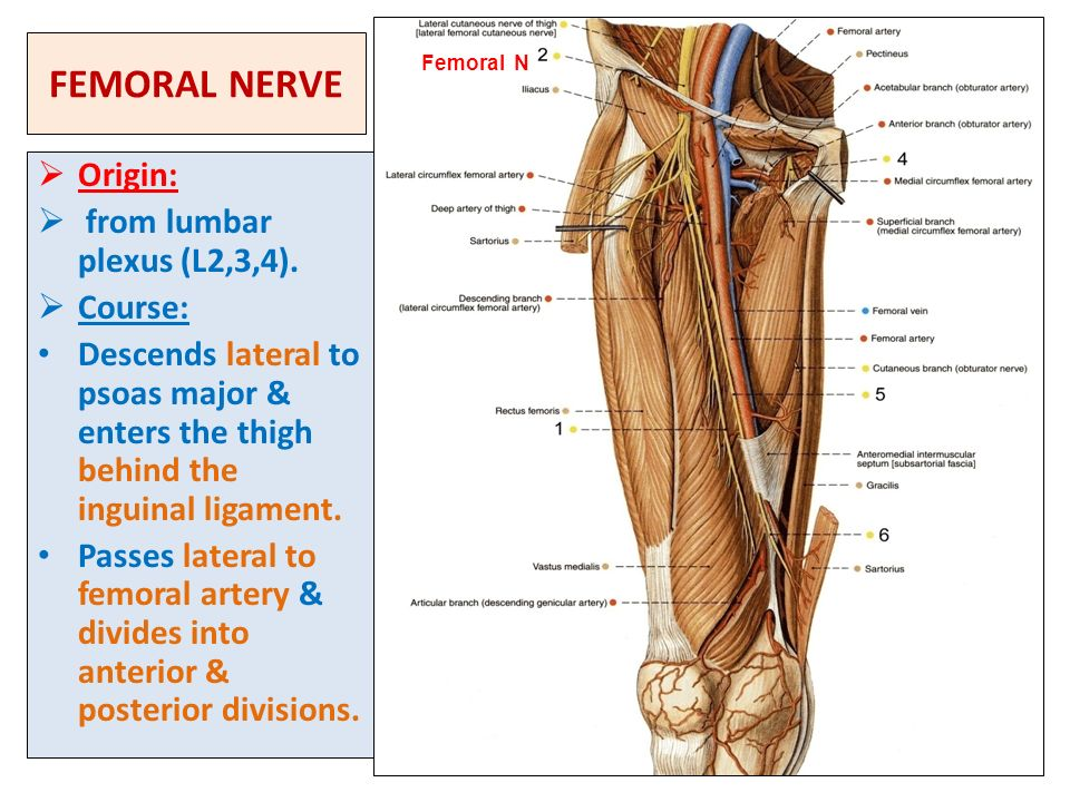sacral plexus femoral & sciatic nerves - ppt video online download, Muscles