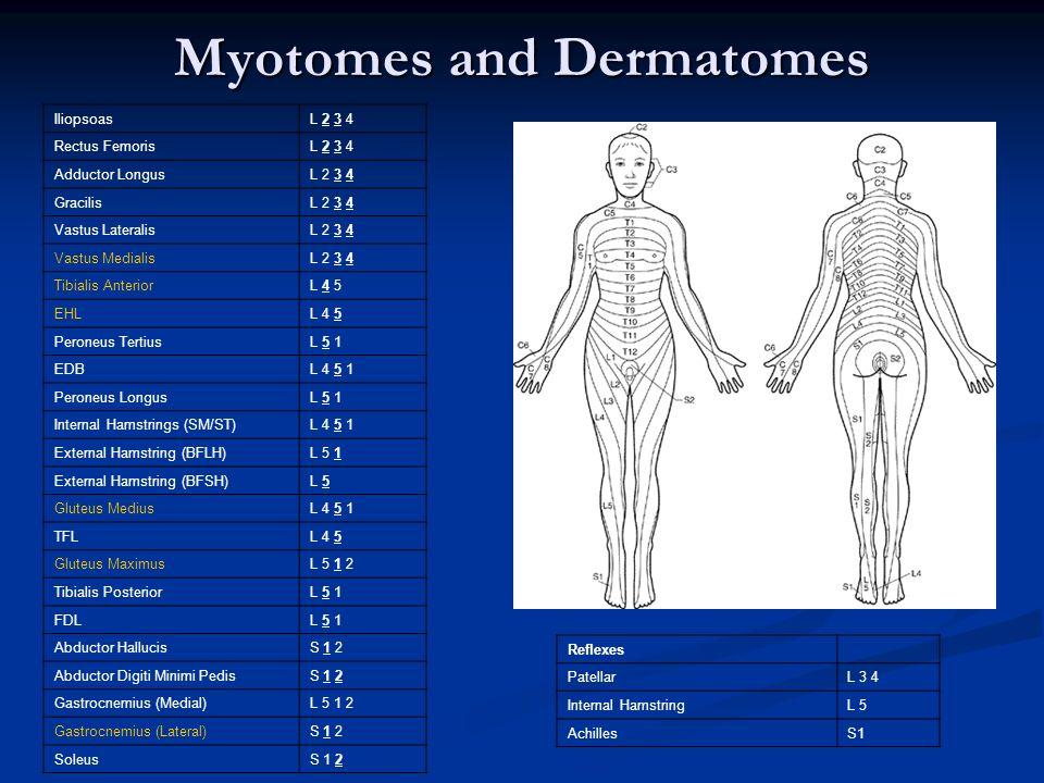 myotomes