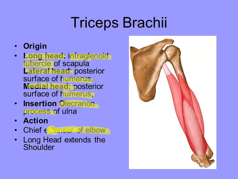 Pictures Of Triceps Brachii Origin And Insertion Rock Cafe