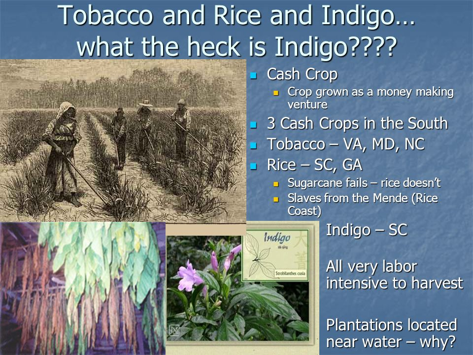 Tobacco and Rice and Indigo… what the heck is Indigo
