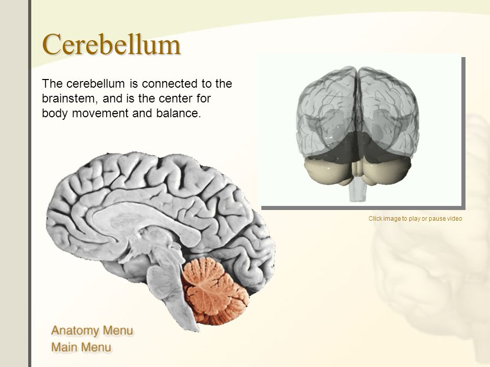 Cerebellum The cerebellum is connected to the brainstem, and is the center for body movement and balance.