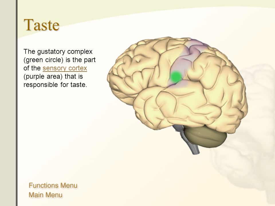 Taste The gustatory complex (green circle) is the part of the sensory cortex (purple area) that is responsible for taste.