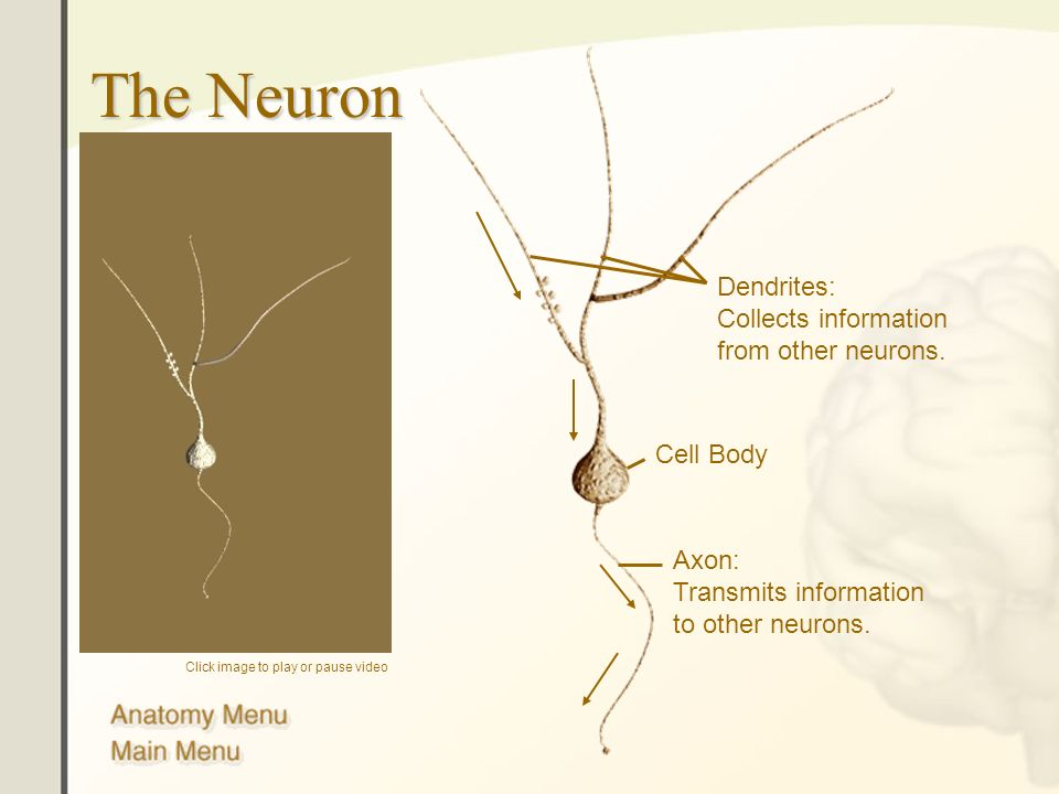 The Neuron Dendrites: Collects information from other neurons.