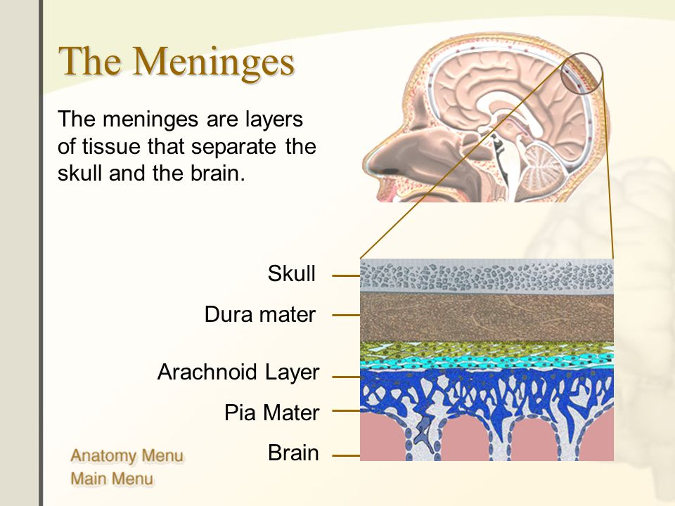 Anatomy Of Meninges