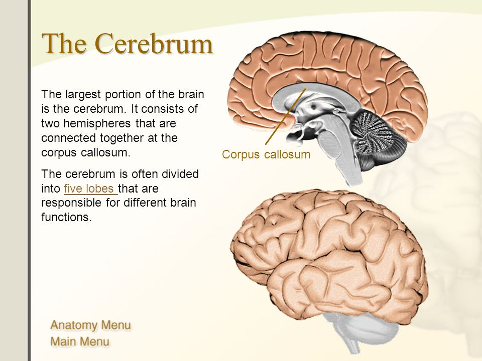 Brain anatomy corpus callosum 8410398 - follow4more.info