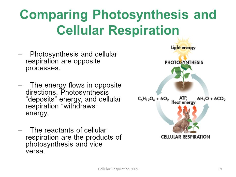 comparison of photosynthesis and respiration Photosynthesis & cellular respiration are the main pathways of energy flow in living things photosynthesis is a process by which plants and some other organisms convert, light energy from the sun, co2 from the air & h2o from the earth, into chemical energy stored in molecules like glucose.