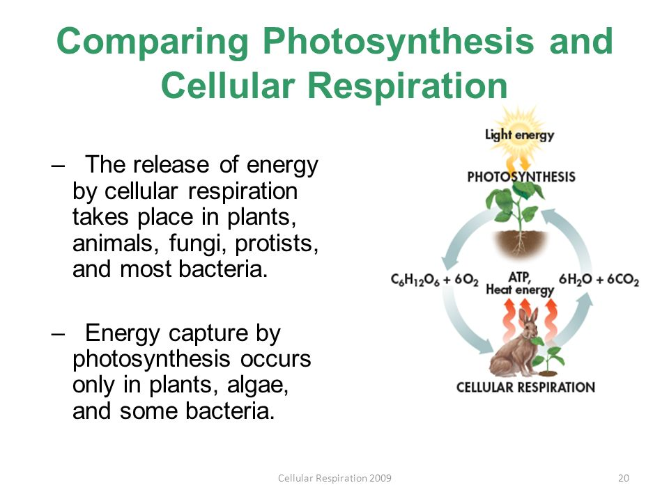 comparing photosynthesis and cellular respiration essay Cell respiration and photosynthesis abstract cellular respiration and photosynthesis are energy transformation processes associated with living organisms.
