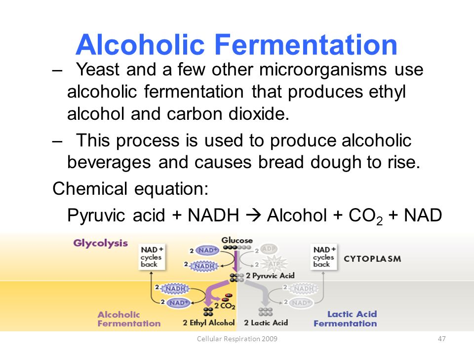 fermentation using yeasts Alcoholic fermentation in yeast - a bioengineering design challenge1 i introduction yeasts are single cell fungi people use yeast to make bread, wine and beer for your experiment.
