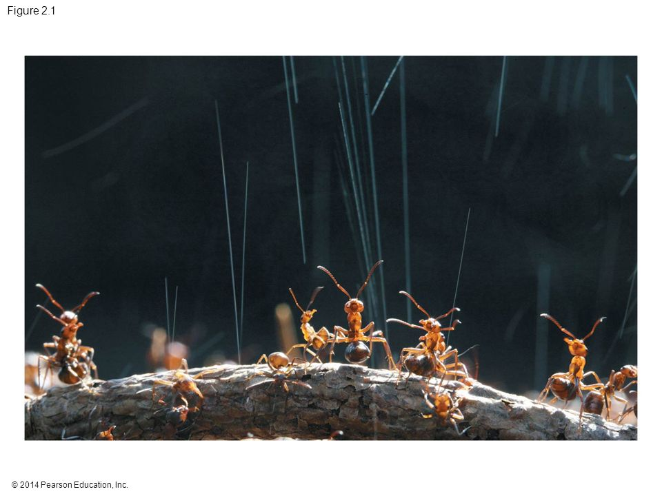 Figure 2.1 Figure 2.1 What weapon are these wood ants shooting into the air