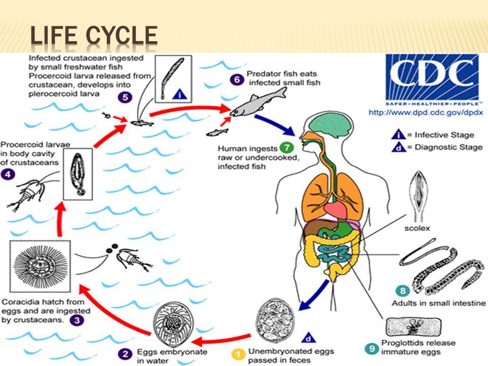 Diphyllobothrium Latum (Broad tape worm, Fish tape worm) - ppt download