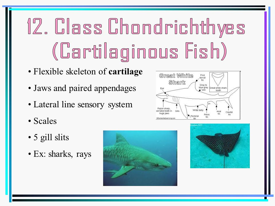 Characteristics that differentiate animals ppt video for Cartilaginous fish examples