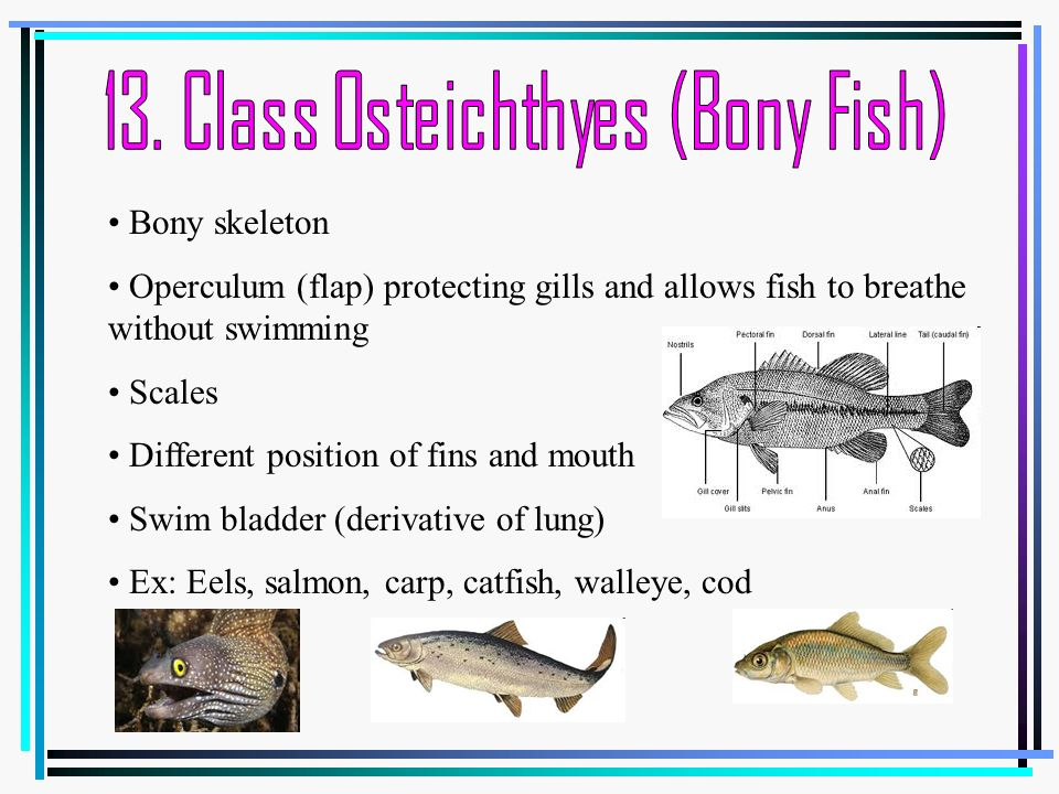Characteristics that differentiate animals ppt video for List of fish with fins and scales