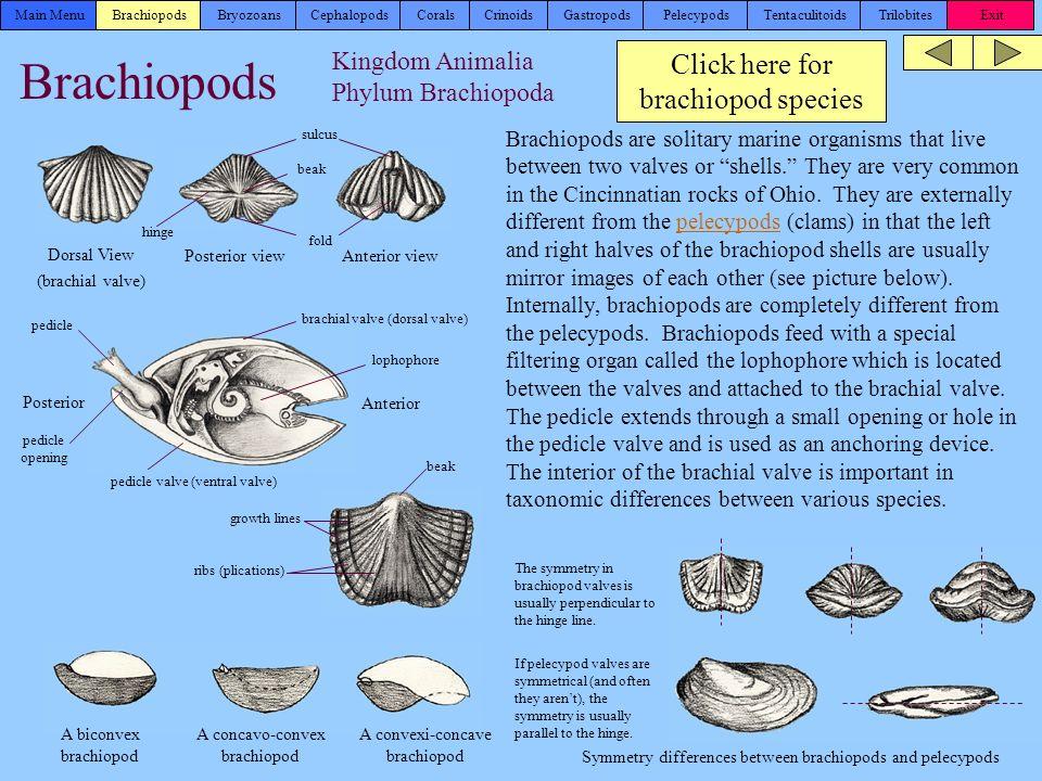 Brachiopod Fossil Identification