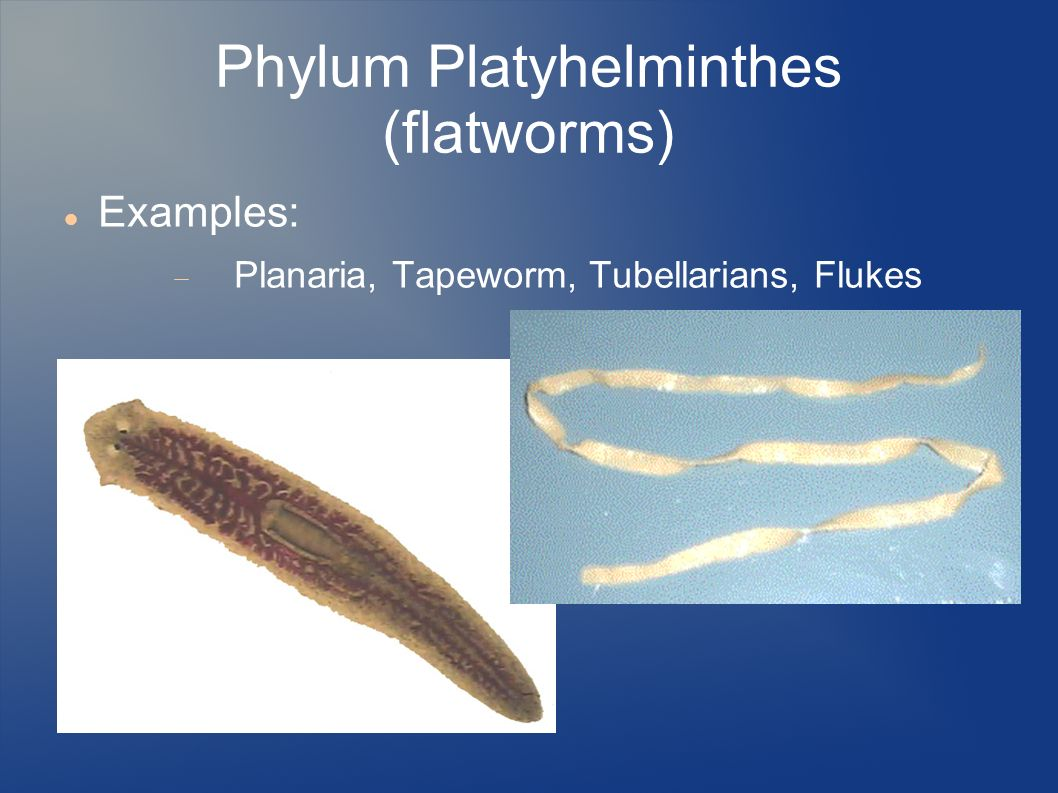 phylum annelida examples