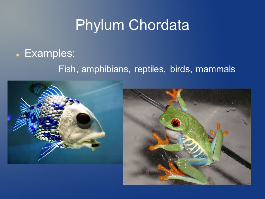Kingdom animalia ppt video online download for Examples of fish