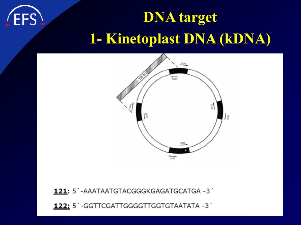 1- Kinetoplast DNA (kDNA)