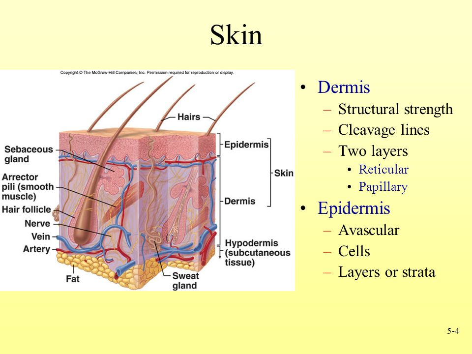 Moderno Anatomy And Physiology Chapter 5 Integumentary System Regalo ...