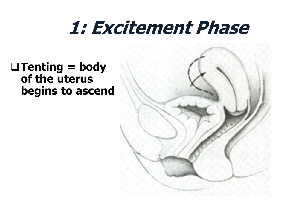 1: Excitement Phase Tenting = body of the uterus begins to ascend