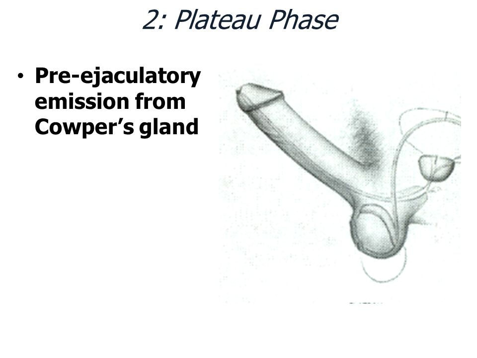 2: Plateau Phase Pre-ejaculatory emission from Cowper's gland