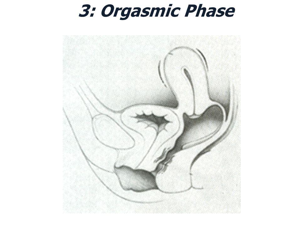 3: Orgasmic Phase