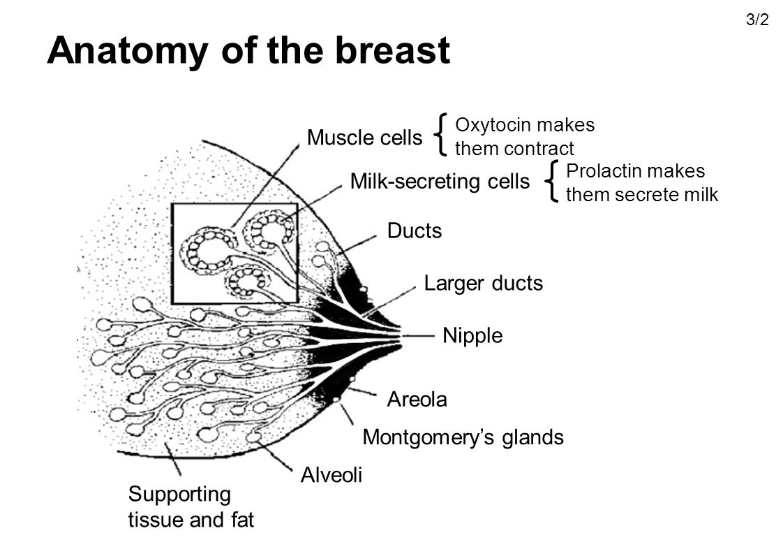 Anatomy of the breast Muscle cells Milk-secreting cells Ducts