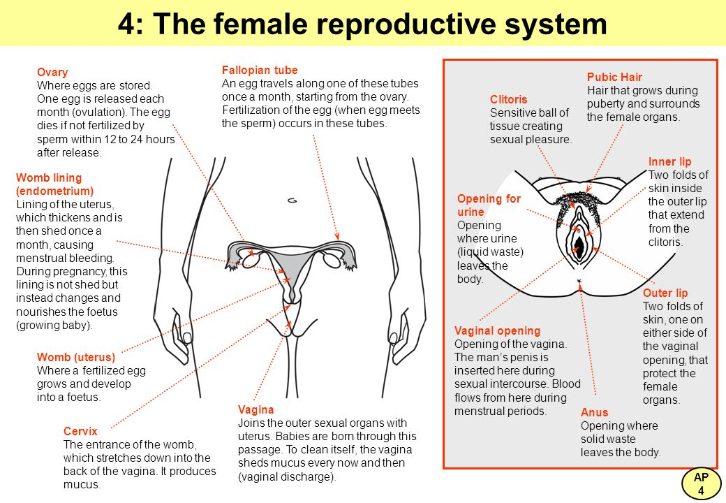 4: The female reproductive system