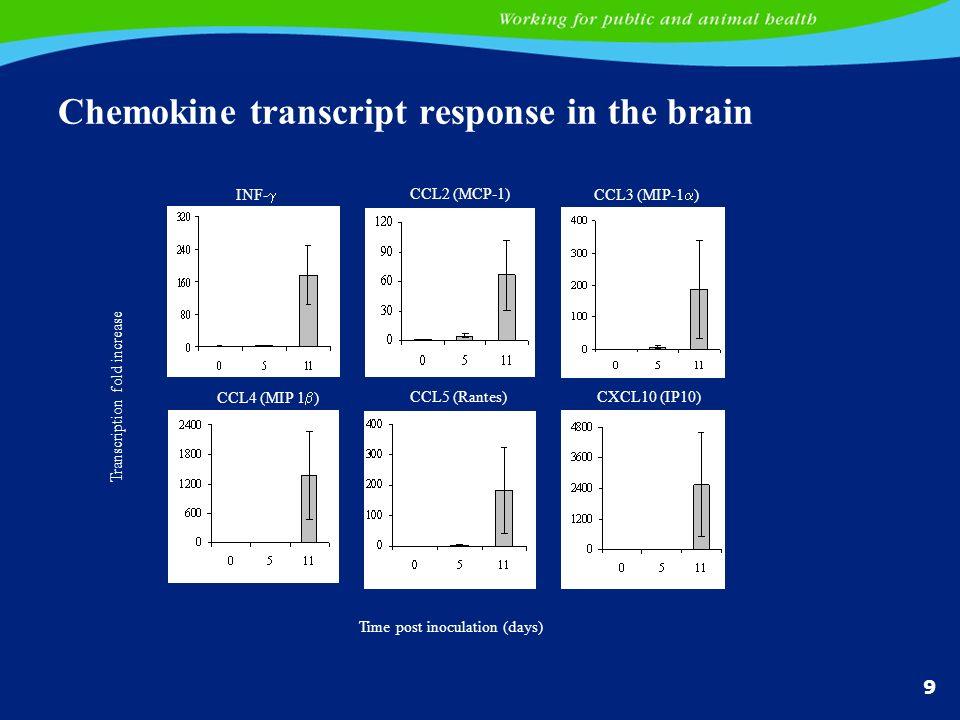 Chemokine transcript response in the brain