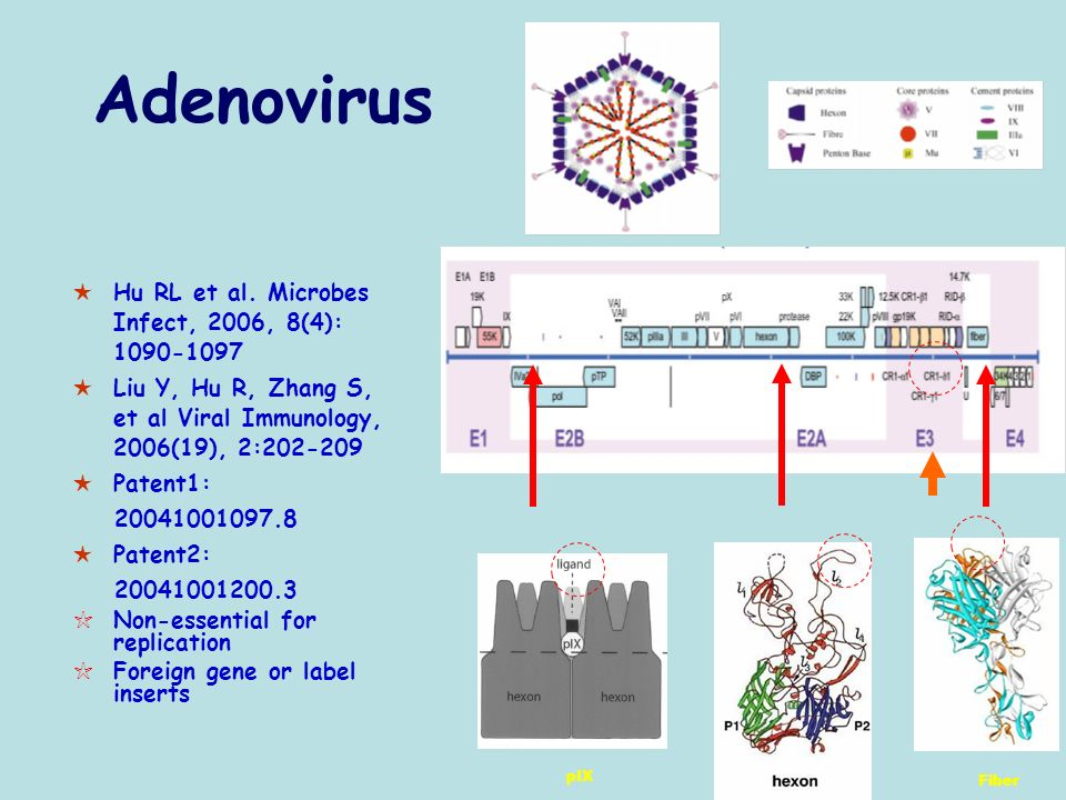 Adenovirus Hu RL et al. Microbes Infect, 2006, 8(4): 1090-1097