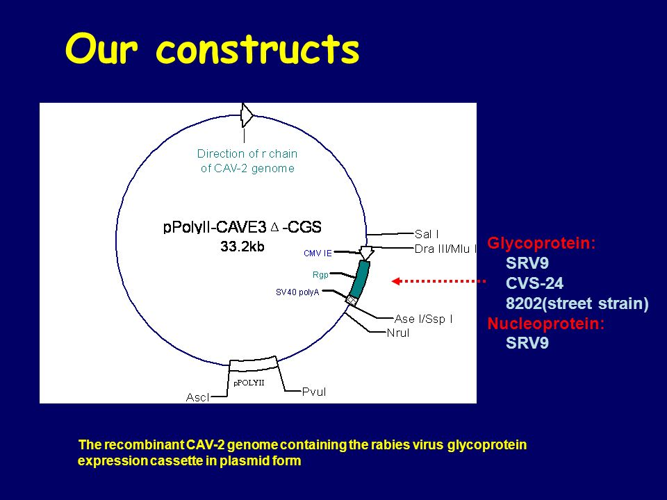 Our constructs Glycoprotein: SRV9 CVS-24 8202(street strain)