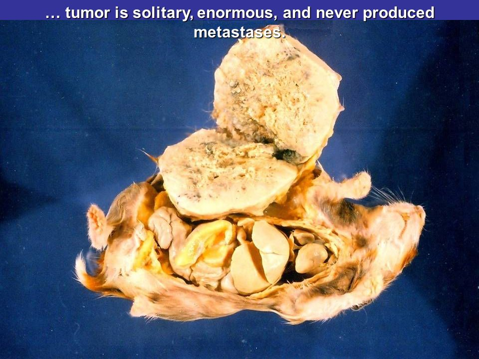 … tumor is solitary, enormous, and never produced metastases.