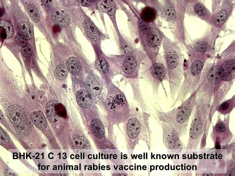 BHK-21 C 13 cell culture is well known substrate for animal rabies vaccine production