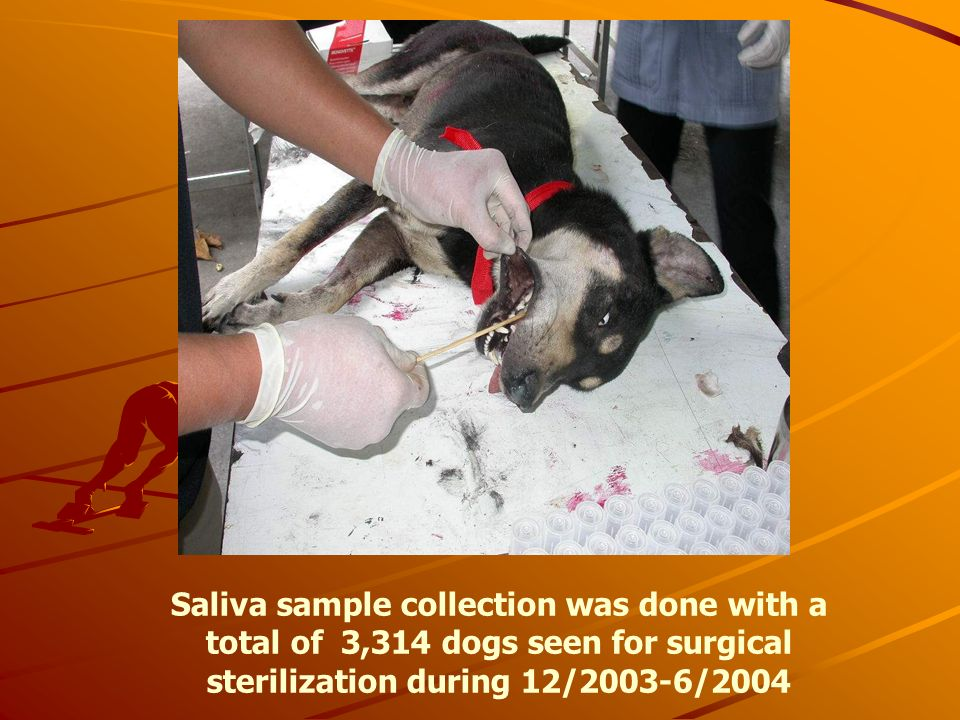 Saliva sample collection was done with a total of 3,314 dogs seen for surgical sterilization during 12/2003-6/2004