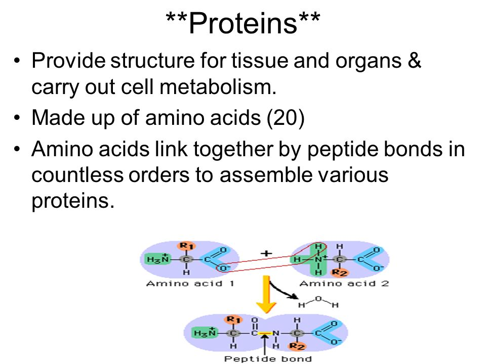 **Proteins** Provide structure for tissue and organs & carry out cell metabolism. Made up of amino acids (20)