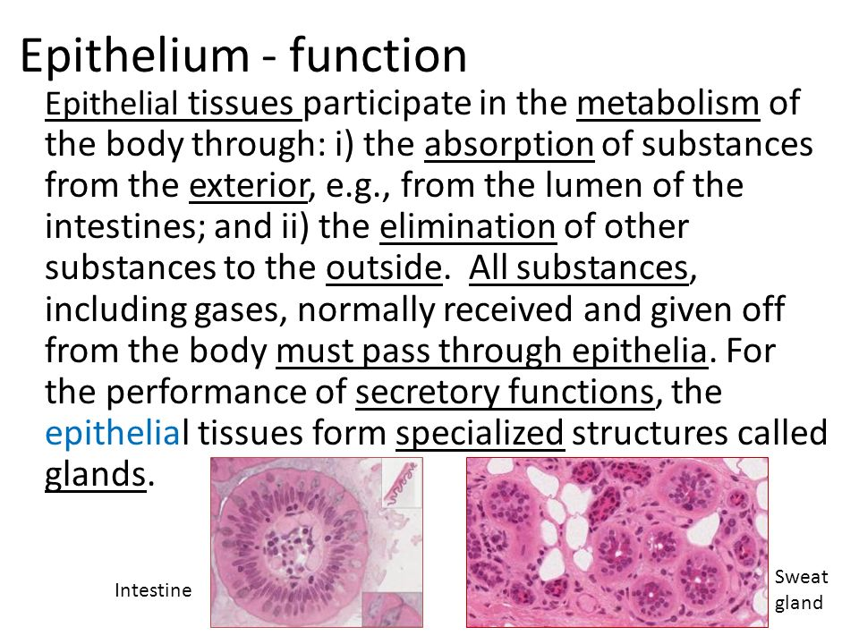 epithelial tissue functions Tissues are related cells that are joined together the cells in a tissue are not identical, but they work together to accomplish specific functions a sample of tissue removed for examination under a microscope (biopsy) contains many types of cells, even though a doctor may be interested in only.